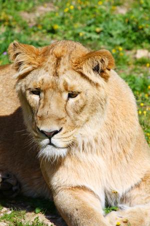 barbary: Portrait of a Barbary lion (Panthera leo leo). Lioness closeup.