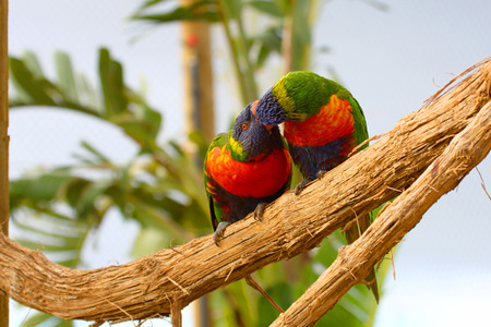living organism: two Rainbow Lorikeet the preen each other