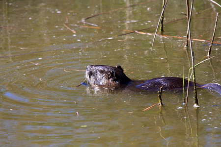 castor: Cute beaver, Castor canadensis, swimming in murky water Stock Photo