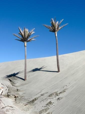 new zealand beach: Palm Trees at Kaihoka Beach, New Zealand