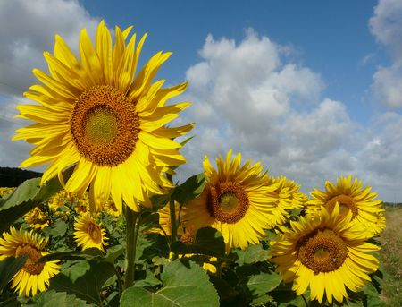 Sunflowers in bloom