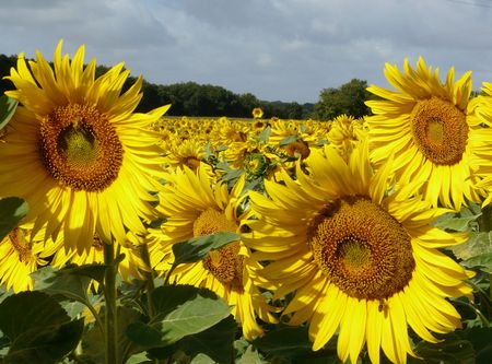 Sunflowers in the summer time Stock Photo