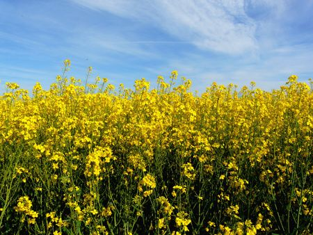 Field of bright yellow canola or rapeseed photo