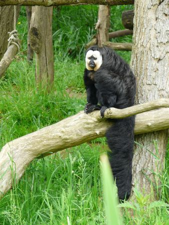 saki: Saki monkey at the Vallee des Singes in France