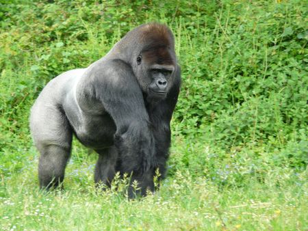 glower: Male silver-back gorilla at the Vallee des Singes in France