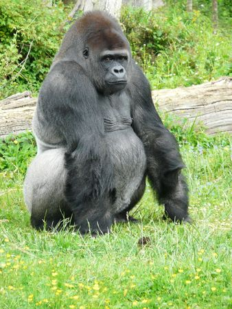 king kong: Male silver-back gorilla at the Vallee des Singes in France