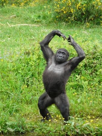gorilla: Gorila joven de pie sobre sus patas traseras en la Singes Vall�e des en Francia