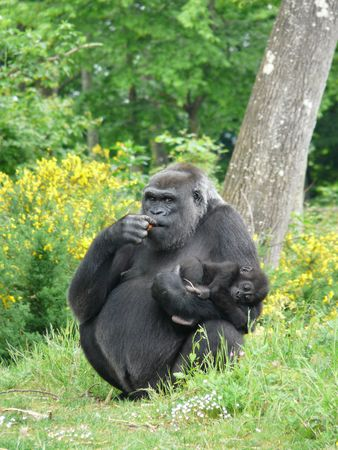 Female gorilla with her at the Vallee des Singes in France Stock Photo