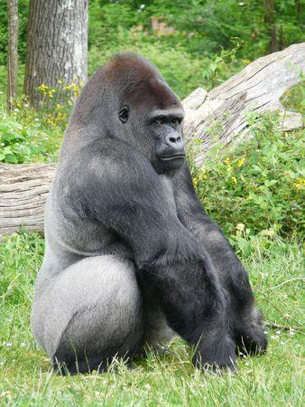Male silver-back gorilla at the Vallee des Singes in France