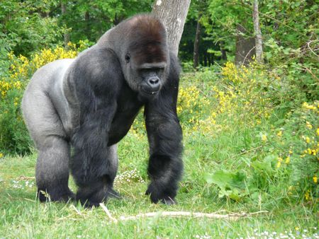 Male silver-back gorilla at the Vallee des Singes in France