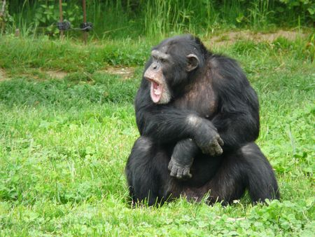 Adult chimpanzee at the Vallee des Singes in France Stock Photo