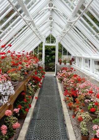 Interior of a traditional greenhouse or conservatory with pink and red geraniums