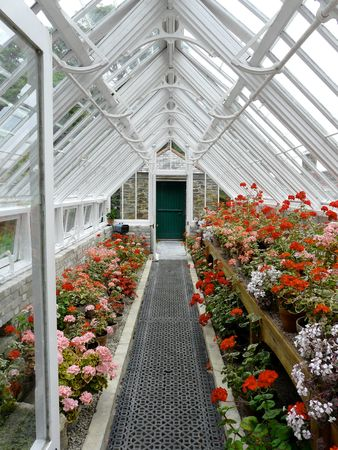 Traditional greenhouse or hothouse with pink and red geraniums