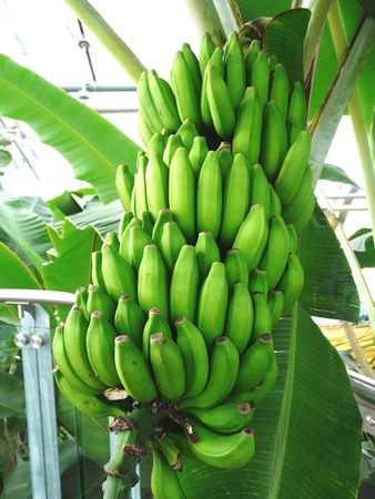 Green bananas in the hothouse at the Botanical Gardens in Montreal, Canada Stock Photo