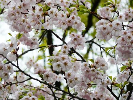 Spring-time Cherry Blossom or Sakura on Cherry trees  Someiyoshino or Prunus Yedoensis, Prunus Akebono and Prunus Fugenzo  in Toronto's High Park