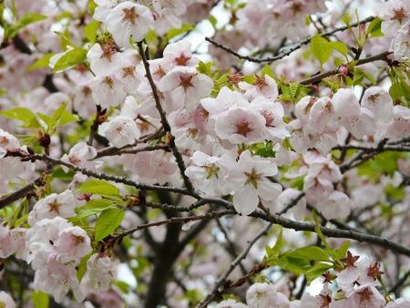 high park: Primavera tempo Cherry Blossom Sakura o sugli alberi di ciliegio o Prunus Someiyoshino yedoensis, Prunus Akebono e Prunus Fugenzo in Torontos High Park
