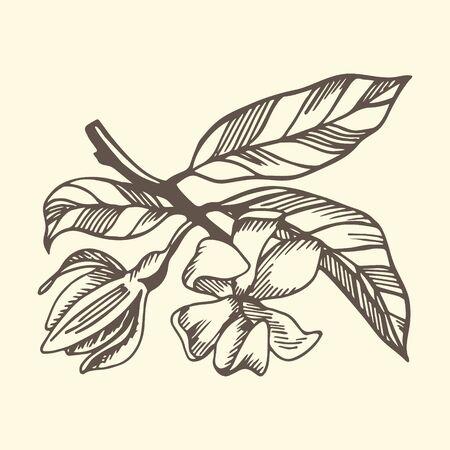 Branche d'ylang ylang et fleurs sur fond jaune. Illustration botanique dessinée à la main avec des lignes de contour marron en vecteur. Éléments floraux monochromes pour textile et papier peint. Vecteurs