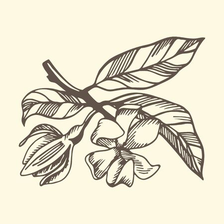 Ylang ylang branche and flowers on yellow background. Hand drawn botanical illustration with brown contour lines in vector. Monochrome floral elements for textile and wallpaper. Illustration