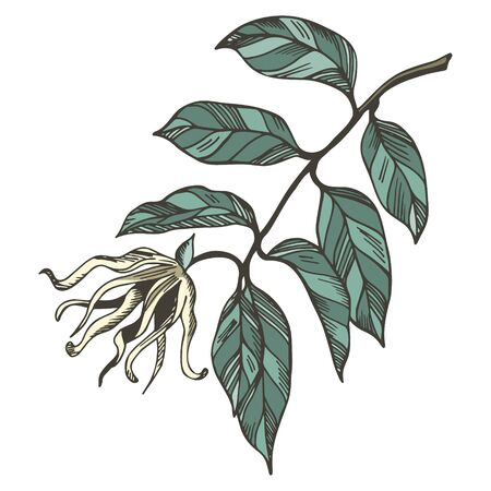 Ylang ylang branche and flowers isolated on white background. Hand drawn botanical illustration with brown contour lines in vector. Floral elements for textile and wallpaper. Illustration