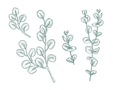 Set of eucalyptus branches on white background. Hand drawn botanical illustration with green contour lines in vector. Monochrome floral elements fot textile and wallpaper.
