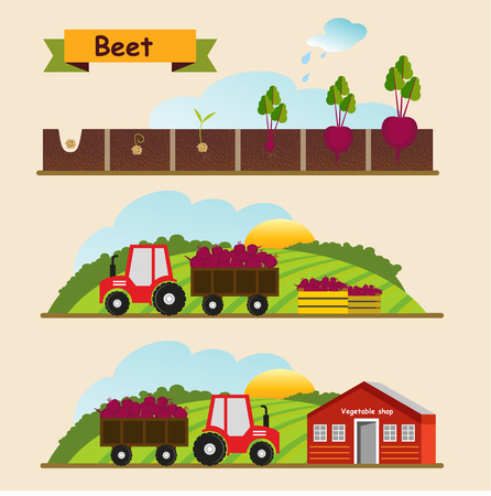 germination: Beet, the growth cycle of plants. Collection and delivery of the crop. Vector illustration. Illustration