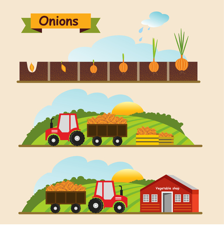 Onion, growth cycle of the plant. Collection and delivery of the crop. Vector illustration. 向量圖像