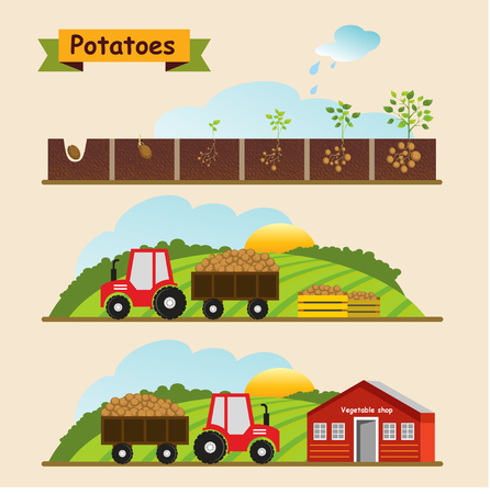 Potato growth cycle of the plant. Collection and delivery of the crop. Vector illustration. Illustration