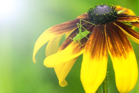 Green grasshopper in a yellow flower Stock Photo