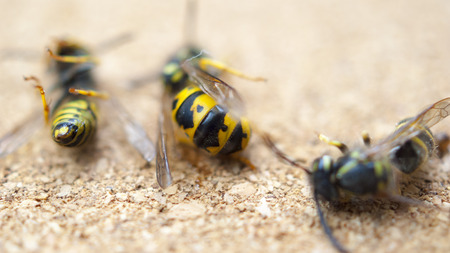 europeans: Dead wasps The concept of a tired worker Stock Photo