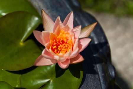 lotus has a very beautiful color photo