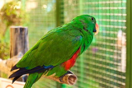 loros verdes: Red-lored Amazon loro en la rama de un �rbol
