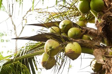 noce di cocco verde albero della Thailandia