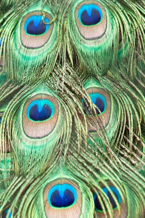 Beautiful exotic peacock feathers photo