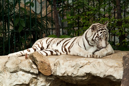 WHITE TIGER on a rock Stock Photo - 11835538