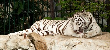 WHITE TIGER on a rock photo