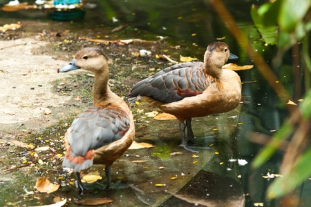 squawk: Teal duck Stock Photo