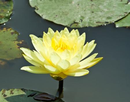 lotus flower blossom Standard-Bild