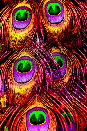 Belle piume di pavone esotici