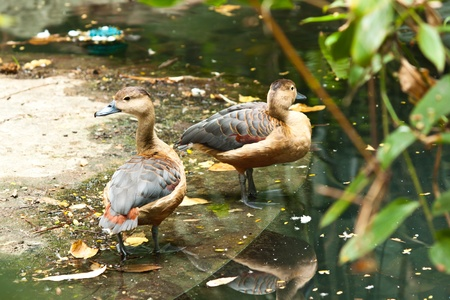 squawk: teal duck