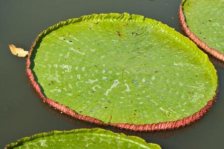 lotus flower blossom Stock Photo - 11949568