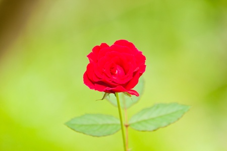 beautiful red roses photo