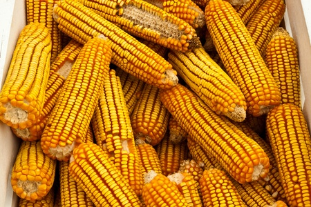 few yellow corn photo