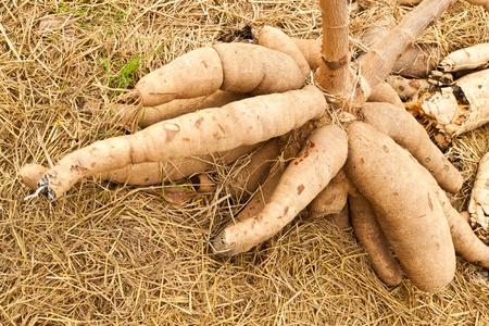 Tapioca Plants Cassava Banco de Imagens