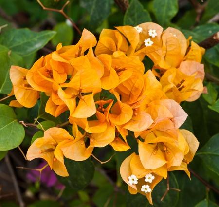 bougainvillea paper flower Stock Photo - 12297569