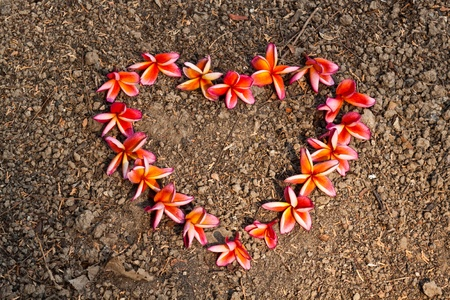 frangipani,Plumeria flowers Standard-Bild
