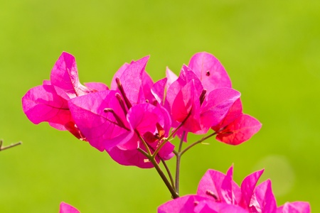 bougainvillea paper flower Stock Photo - 12297506