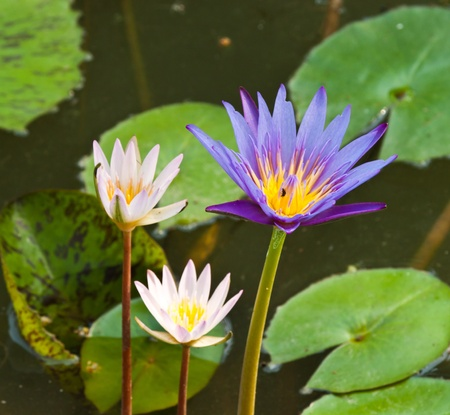lotus on the River Stock Photo - 12297540