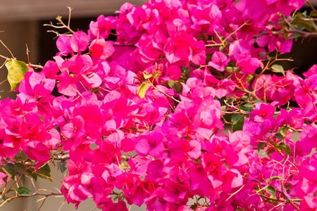 bougainvillea paper flower photo