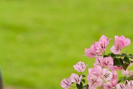 bougainvillea paper flower Stock Photo - 12297181