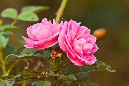 beautiful pink rose photo